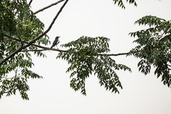Oriental Magpie Robin royalty free stock images