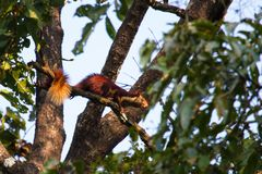 Malabar giant squirrel Ratufa indica hopping on the branch royalty free stock photo