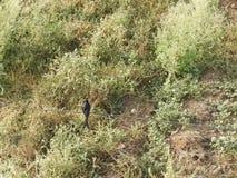 Indian male koel. Koel also called as Eudynamys orientalis, cuckoo, nightingale, eastern koel, rainbird or stormbird Stock Image