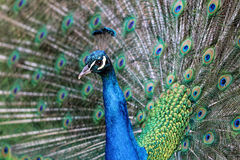 Indian male peacock (Pavo cristatus) Royalty Free Stock Photos