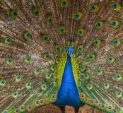 Peacock with a colorful raised train Royalty Free Stock Photos