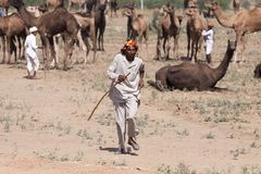 Old Rajasthani man against the background of his camels. Indian man attended the annual Pushkar Camel Mela Stock Photos