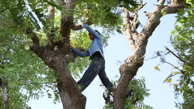Indian man climbing at treetop and cutting branches at field in Jodhpur. JODHPUR, INDIA - 13 FEBRUARY 2015: Indian man climbing at treetop and cutting branches stock video footage