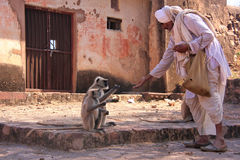Indian man feeding gray langurs at Ranthambore Fort, India Stock Photography