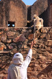 Indian man feeding gray langurs at Ranthambore Fort, India Royalty Free Stock Images