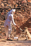 Indian man feeding gray langurs at Ranthambore Fort, India Stock Image