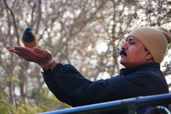 Indian man feeding Rufous treepie from his hands, Ranthambore Na Royalty Free Stock Image