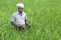 Indian Man Holding sickle and crops Royalty Free Stock Image
