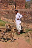 Indian man standing near gray langurs at Ranthambore Fort, India Stock Images