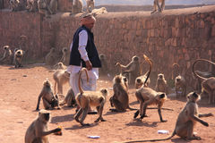 Indian man standing near gray langurs at Ranthambore Fort, India Royalty Free Stock Images