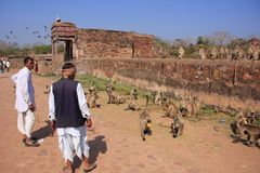 Indian man standing near gray langurs at Ranthambore Fort, India Royalty Free Stock Image