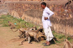 Indian man standing near gray langurs at Ranthambore Fort, India Royalty Free Stock Photography
