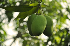 Indian Mangoes. A Bunch of Mangoes growing on a tree in India Stock Photography