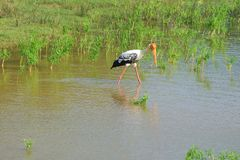 Indian marabou on the lake, sunny day. Sri Lanka royalty free stock photography