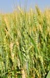 Indian meadows -fields of Punjab Stock Photos
