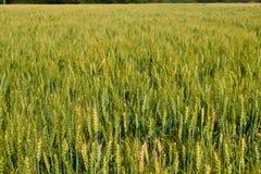 Indian meadows -fields of Punjab. Indian fields and meadows along gujrat punjab haryana Stock Photos