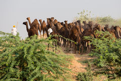 Indian men and camels attended the annual Pushkar Camel Mela. , India. PUSHKAR, INDIA - OCTOBER 28, 2014: Unidentified Indian men attended the annual Pushkar Royalty Free Stock Images