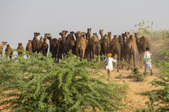 Indian men and herd camel attended the annual Pushkar  Mela. India Royalty Free Stock Photo