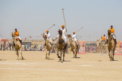 Indian men play camel polo at Desert Festival in Jaisalmer, Rajasthan, India. JAISALMER, INDIA - FEBRUARY 09, 2017 : Unidentified men play camel polo at Desert Royalty Free Stock Photos