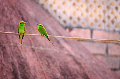Indian Merops orientalis birds pair Royalty Free Stock Photos