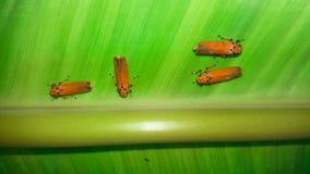 Indian Milkweed Bug, Oncopeltus confusus on green leaf. This is Indian Milkweed Bug, Oncopeltus confusus on green leaf royalty free stock photography