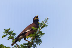 Indian Minor Bird Tree Royalty Free Stock Image
