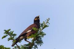 Indian Minor Bird Tree royalty free stock image