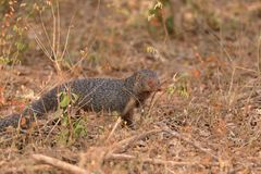 Indian Mongoose in Yala National Park in Sri Lanka Royalty Free Stock Photos