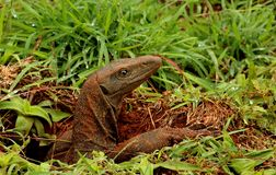 Indian Moniter Lizard, Varanus bengalensis, Bandipur National Park, Karnataka, India. Indian Moniter Lizard, Varanus bengalensis, Bandipur National Park stock photography