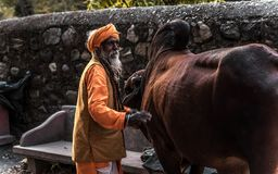 Indian monk stands on the street near the cow stock image