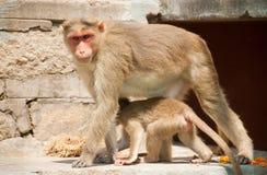 Indian monkey Stock Photo