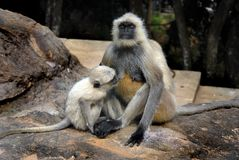Indian Monkey Royalty Free Stock Image