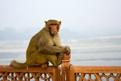 Indian monkey Stock Photography