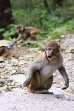 Indian monkey.Agra Royalty Free Stock Photos