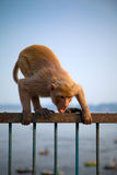 Indian monkey in attacking position Royalty Free Stock Image