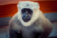 Indian Monkey. Frendly marmoset sit in hotel's balcony and looking for some food. Rishikesh, India Royalty Free Stock Images