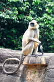 Indian Monkey Royalty Free Stock Photo