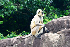 Indian Monkey Stock Photos