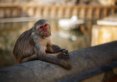 Indian monkey. Stock Image