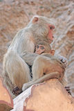 Indian monkeys Royalty Free Stock Photo
