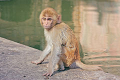 Indian monkeys Royalty Free Stock Photography