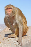 Indian monkeys Royalty Free Stock Photography