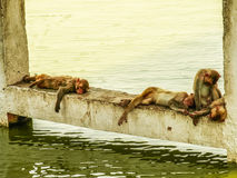 Indian monkeys sleeping near water. At hot summer day stock photography