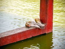 Indian monkeys sleeping near water. At hot summer day royalty free stock photography