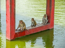 Indian monkeys sleeping near water. At hot summer day royalty free stock photo