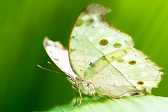 Indian moon moth Royalty Free Stock Photo