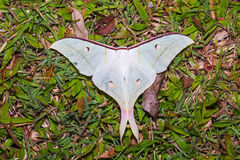 Indian moon moth or Indian luna moth Royalty Free Stock Photos