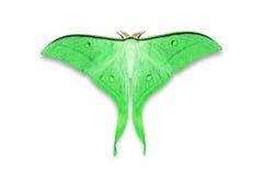 Indian moon moth or Indian luna moth Stock Photo