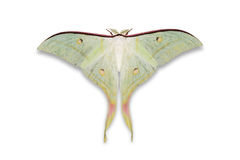 Indian moon moth or Indian luna moth Stock Images