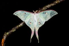 The Indian Moon Moth moth Royalty Free Stock Photos
